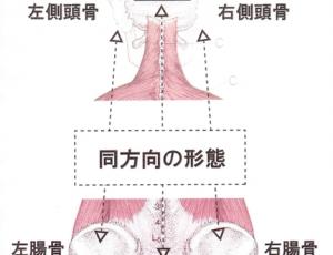 側頭骨と腸骨の関係