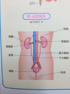 腎臓の位置【堺市整体院エール 図】
