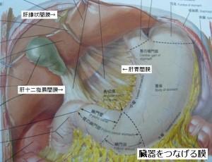 腹膜・筋膜