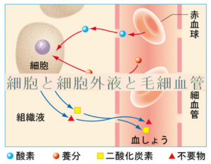 細胞と血液【整体院エール】